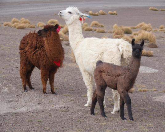 3 lamas Sakantay