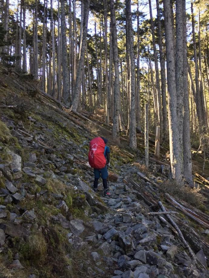 冬季的雪山步道一隅,沿途都是參天冷杉林