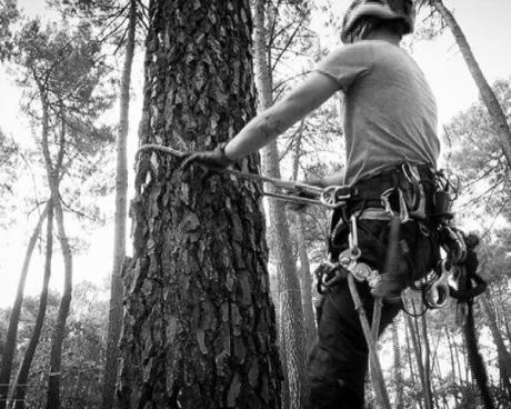 Ascension d'un pin pour élaguer l'arbre
