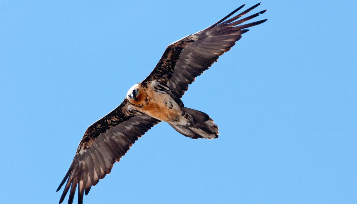 Sunny the Bearded Vulture has taken flight!
